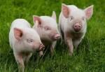 разведение свиней бизнес