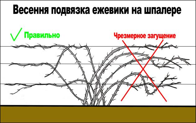 Схема: подвязка кустов ежевики