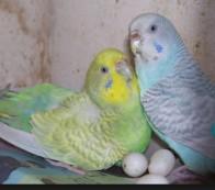 Разведение волнистых попугаев