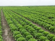 Выращивание салата Айсберг