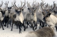 Разведение северных оленей