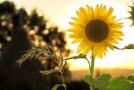 Выращивание подсолнечника